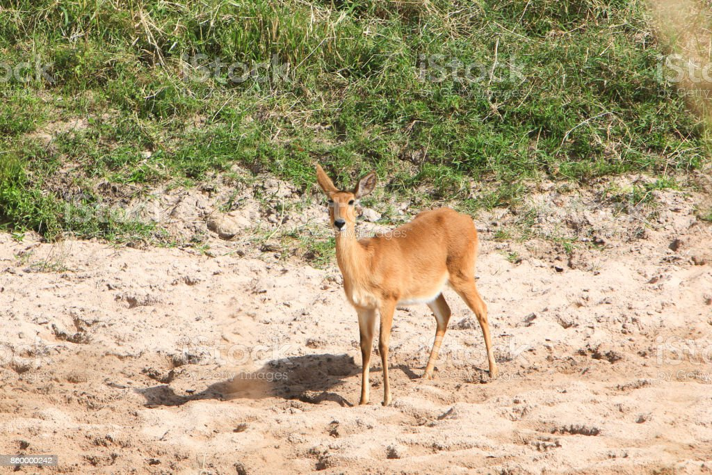 Bohor reedbuck on the Sand River banks in the Masai Mara National Reserve, Kenya stock photo