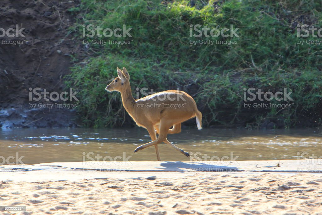 Bohor reedbuck running on the Sand River banks in the Masai Mara National Reserve, Kenya stock photo