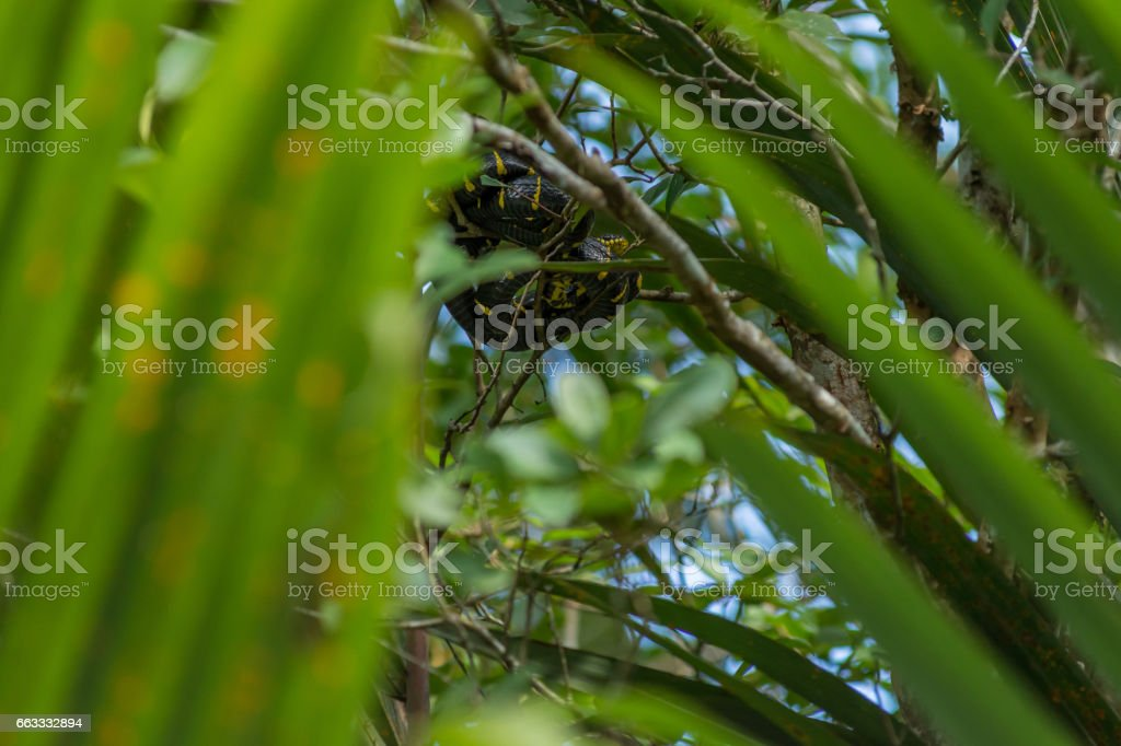 Boiga dendrophila,  mangrove snake or gold-ringed cat snake curled up high up in a mangrove tree stock photo