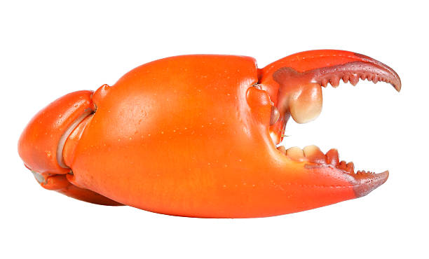 Boiled claw crab at corner. Isolated on white background stock photo
