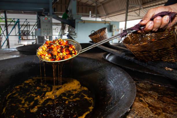 boiling oil palm fruits for palm oil production at a local factory. - oleo palma imagens e fotografias de stock