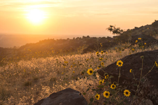 Boise, Idaho - Golden sunset over a field of sunflowers and rocky foothills stock photo
