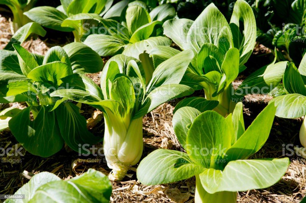Bok Choy growing in vegetable garden stock photo