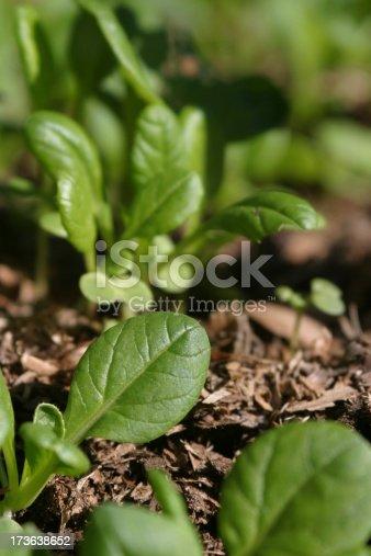 Bright green baby seedlings.
