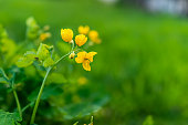Bokeh blurry green background and Greater Celandine or Chelidonium majus yellow flowers macro closeup of herb used for medicine