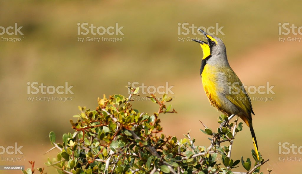 Bokmakierie bird singing call yellow black perched stock photo