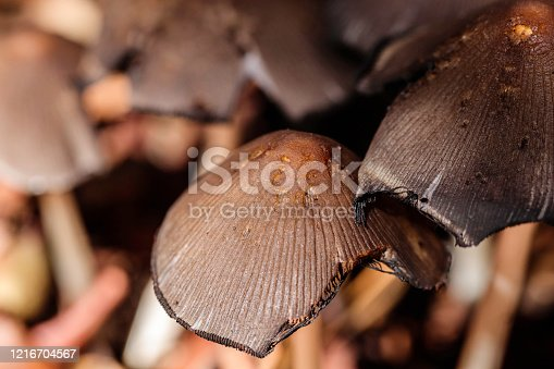 Bolbitiaceae mushrooms beside a wet path at Hughes, ACT, Australia on a summer day in February 2020
