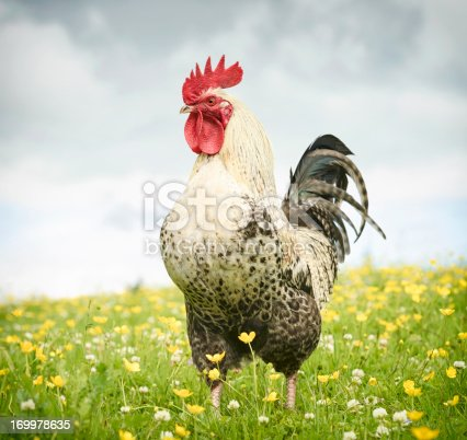 Full length portrait of a free-range, strong cockerel standing proud in a summer meadow.
