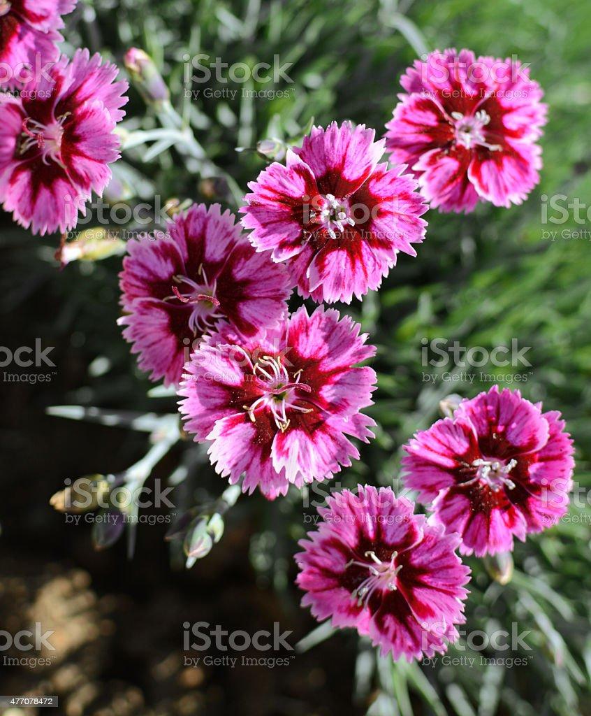 Bold pink carnations stock photo