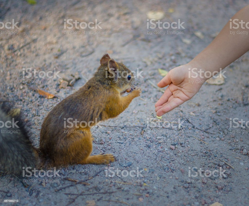 Bold Red Squirrel eating from hand stock photo