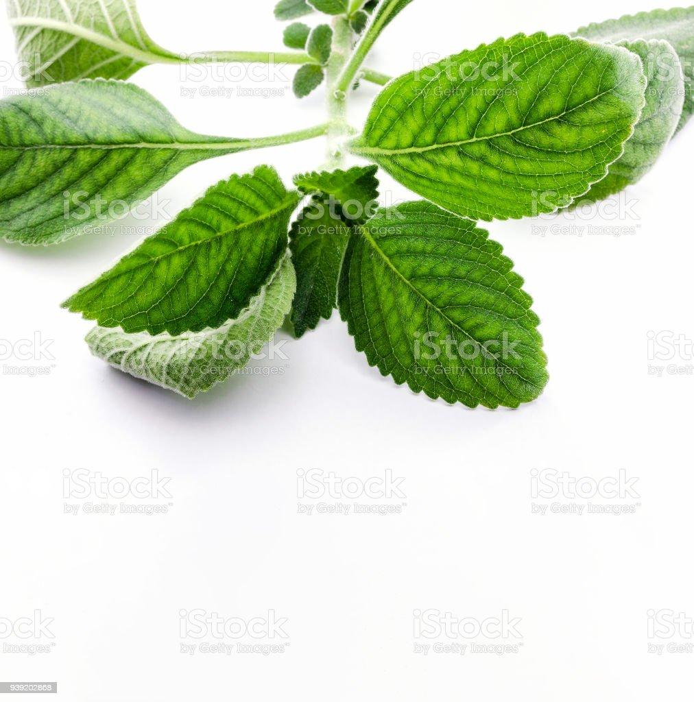 Folha de Boldo: filial de uma planta verde chamado Boldo da Terra - foto de acervo