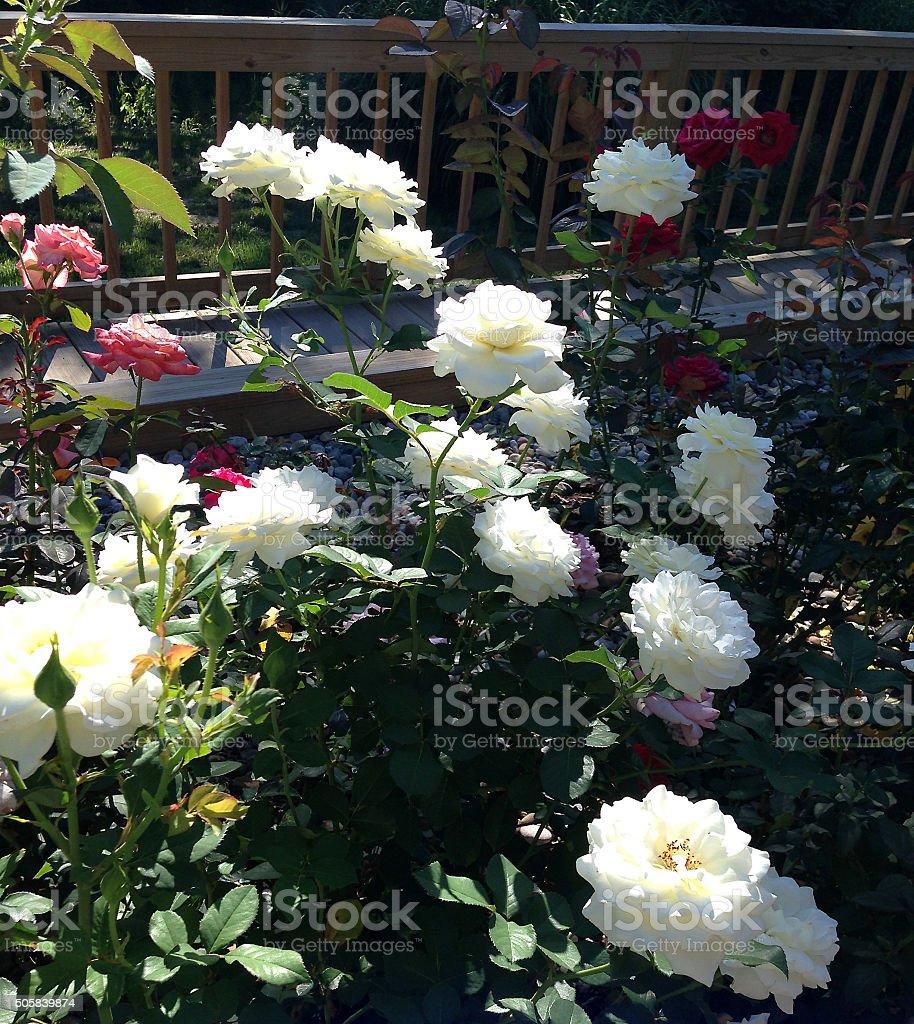 'Bolero' in The Garden' stock photo