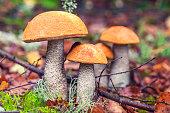 istock Bolet orange (Leccinum aurantiacum) 853907182