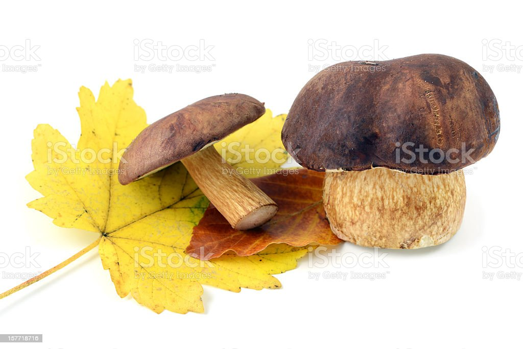Bolete mushroom (Boletus badius) stock photo
