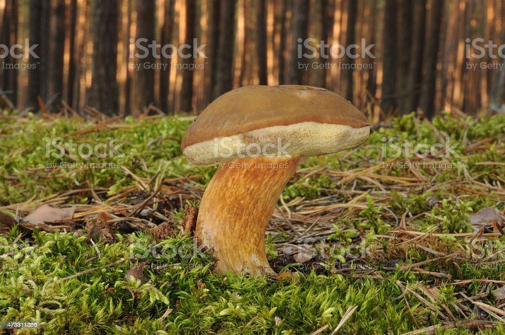 Boletus badius fungus stock photo