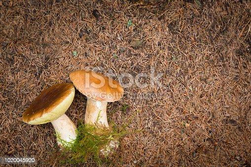 istock Boletus edulis, edible mushroom 1020045920