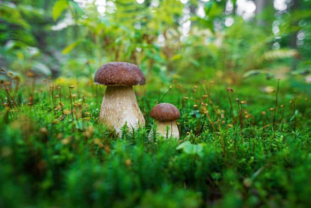 boletus edulis - ätlig svamp - höst plocka svamp bildbanksfoton och bilder