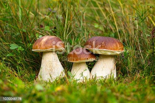 istock Boletus edulis, edible mushrooms 1020046178