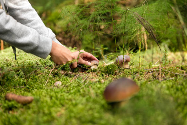 boletus edulis in the forest, mushrooming and finding the gourmet mushrooms - fungus stock pictures, royalty-free photos & images