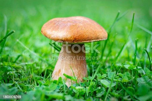 Boletus edulis known as penny bun mushroom. Boletus edulis grown between the blades of grass. Boletus edulis edible mushroom.