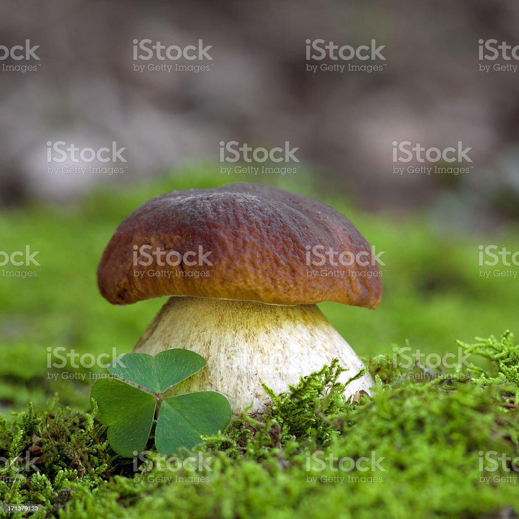 Boletus edulis with clover stock photo