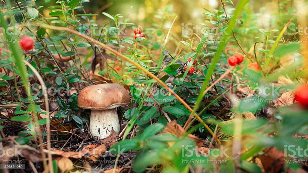 Boletus growing in forest royalty-free stock photo