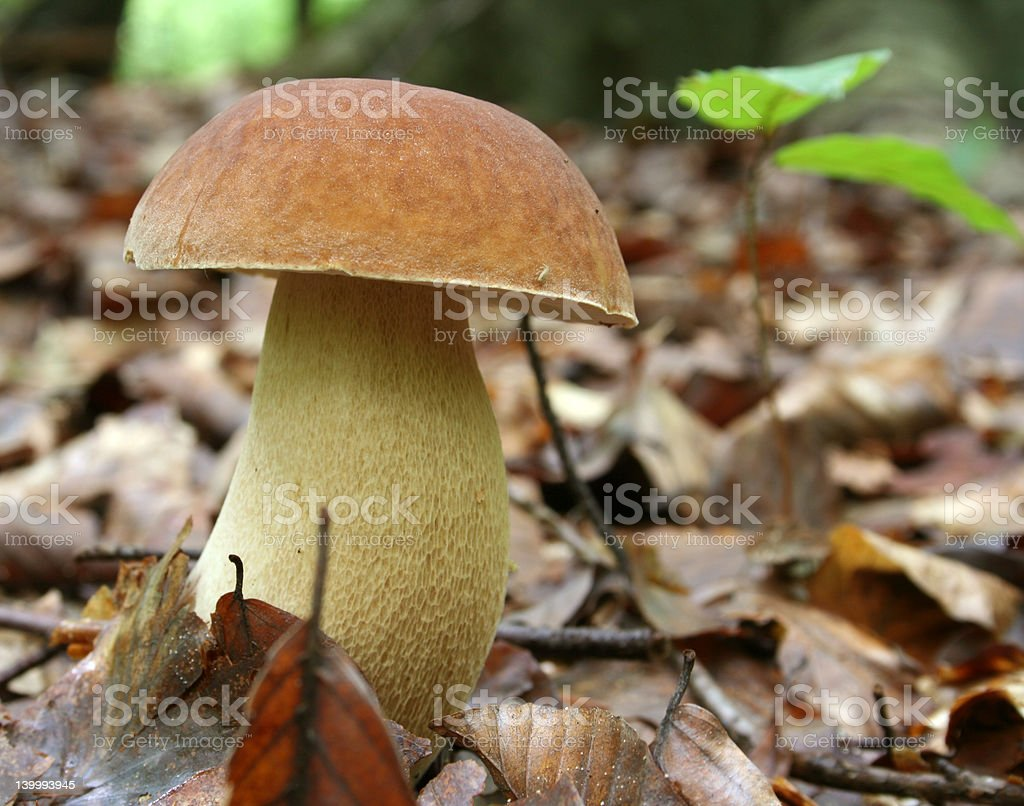 Boletus in the forest royalty-free stock photo