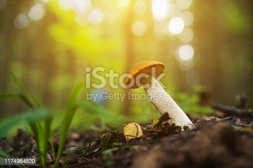 Boletus mushroom in the woods