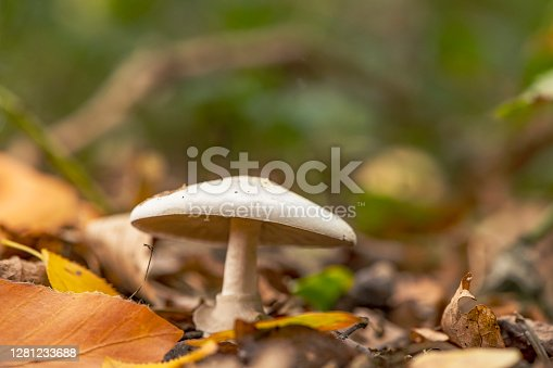 Boletus Mushroom on moss covered forest floor during a beautiful fall day in Overijssel, The Netherlands.