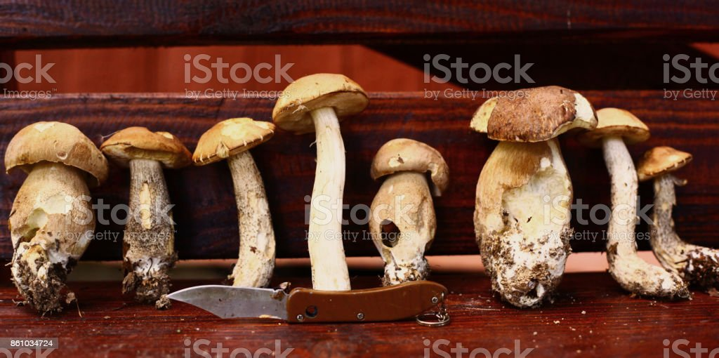 boletus mushrooms close up photo in row in wooden bench stock photo
