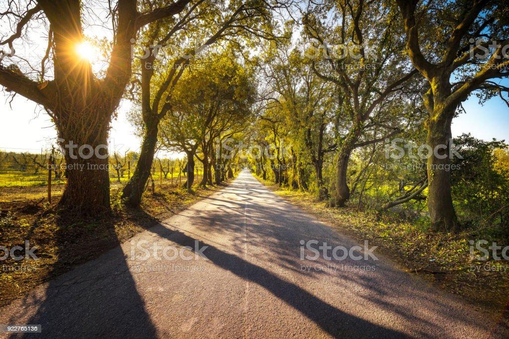 Bolgherese road, autumn or fall, tree straight at sunrise. Maremma, Tuscany, Italy - foto stock