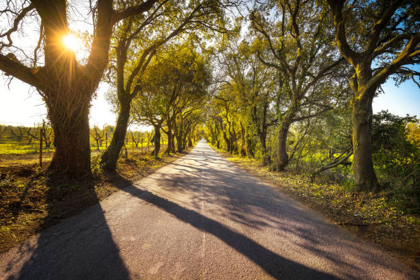 Bolgherese road, autumn or fall, tree straight at sunrise. Maremma, Tuscany, Italy - foto stock