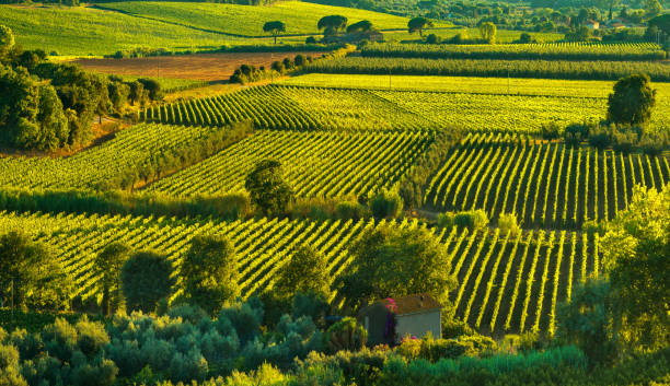 Bolgheri and Castagneto vineyard aerial view on sunset. Maremma Tuscany, Italy - foto stock