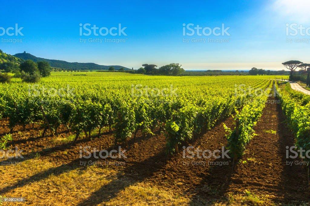 Bolgheri Castagneto vineyard and tree. Maremma Tuscany, Italy - foto stock