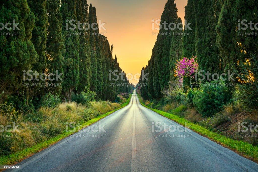 Bolgheri famous cypresses tree straight boulevard on sunset. Maremma, Tuscany, Italy - foto stock