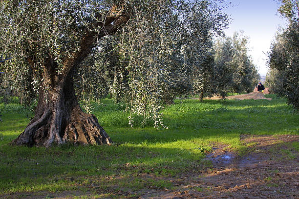 Bolgheri, Tuscany, olive harvest to produce the famous extra vir - foto stock