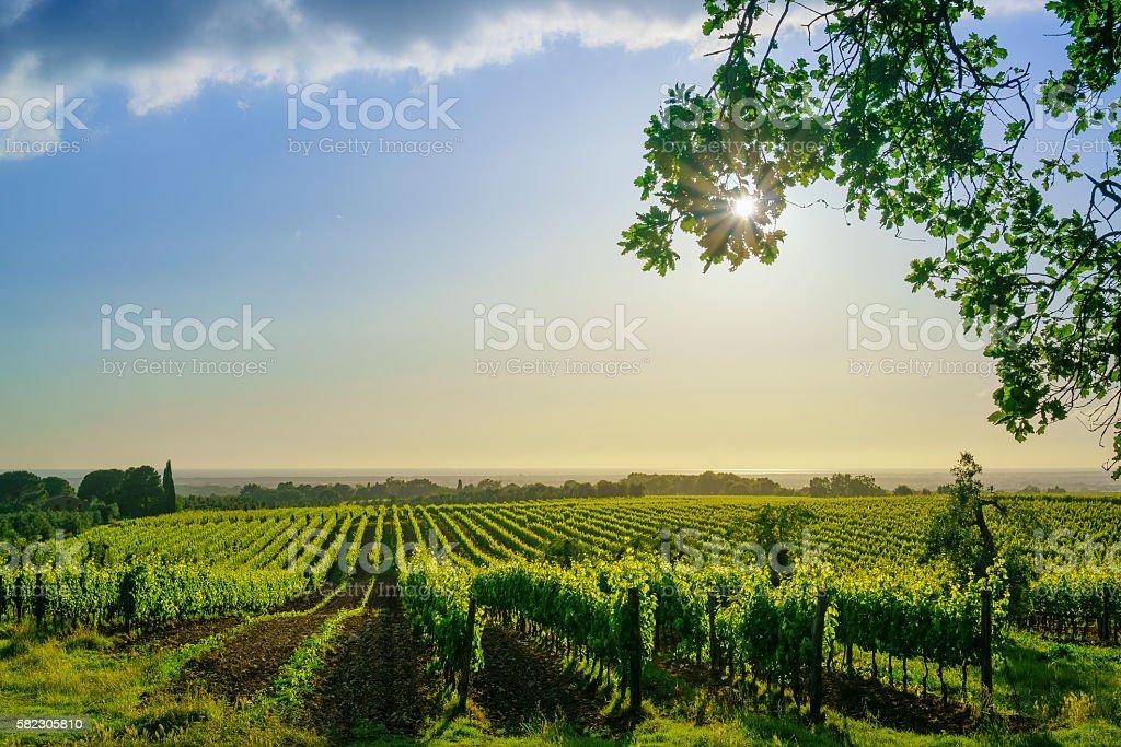 Bolgheri Vineyard And Sea Maremma Tuscany Italy Stock Photo