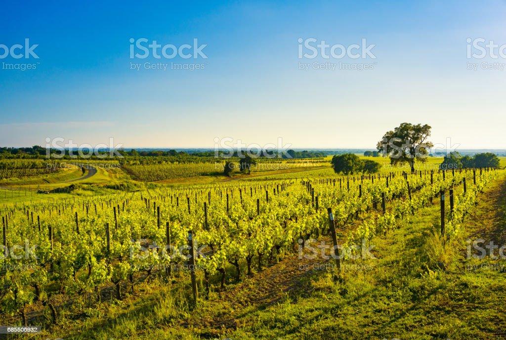 Bolgheri vineyard, trees and sea. Maremma Tuscany, Italy - foto stock