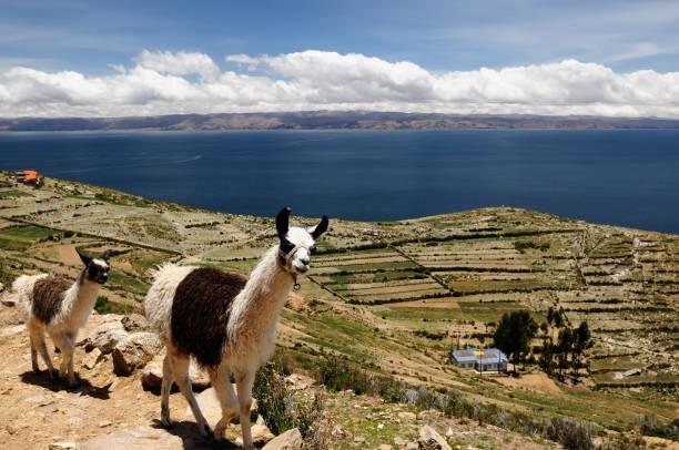 ボリビアのチチカカ湖、ラマの風景 - チチカカ湖 ストックフォトと画像