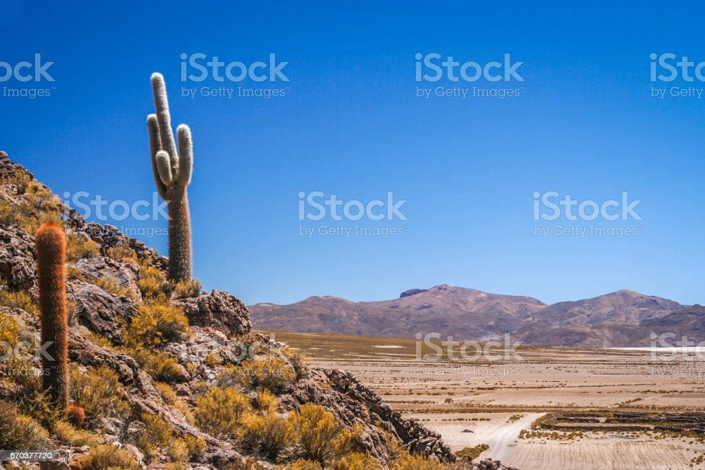 Bolivian cactuses on a mountain slope stock photo