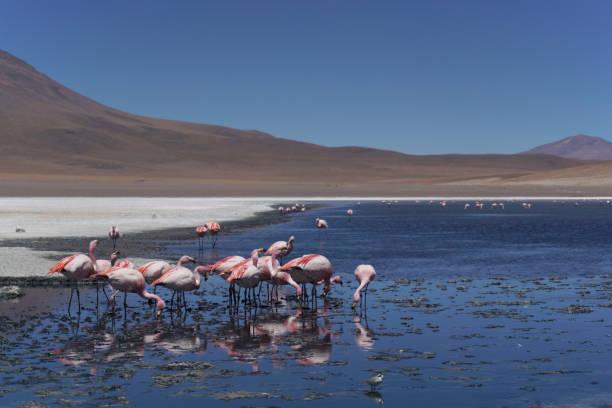 Bolivian flamingos stock photo