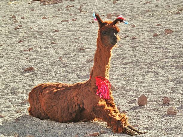 Bolivian llama stock photo
