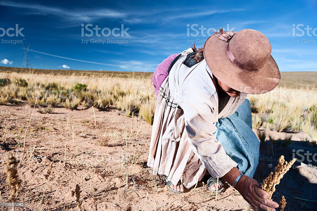 Bolivian woman collecting quinoa, Oruro, Bolivia royalty-free stock photo