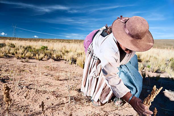 Bolivian woman collecting quinoa, Oruro, Bolivia stock photo