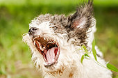 bolognese dog barking with opened mouth in the grass