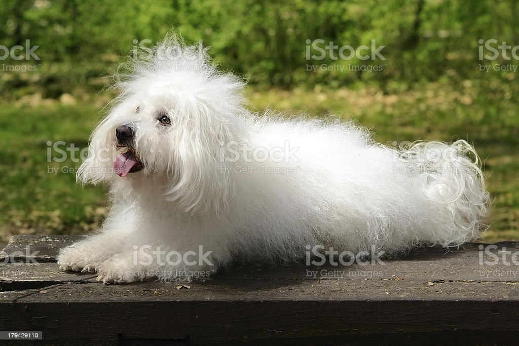 Bolognese dog rest on the bench stock photo