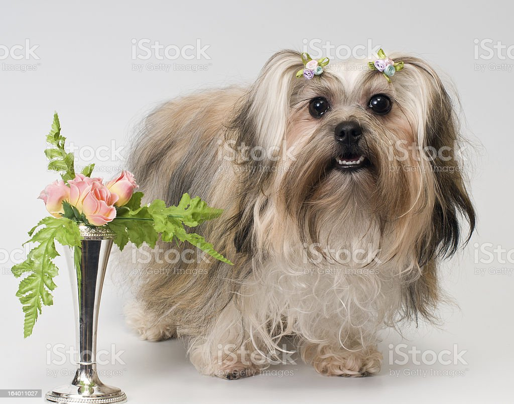 Bolonka Zwetna in studio on a neutral background royalty-free stock photo