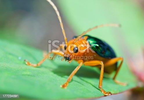 istock Bombardier Beetle (brachinus alternans) 177234591