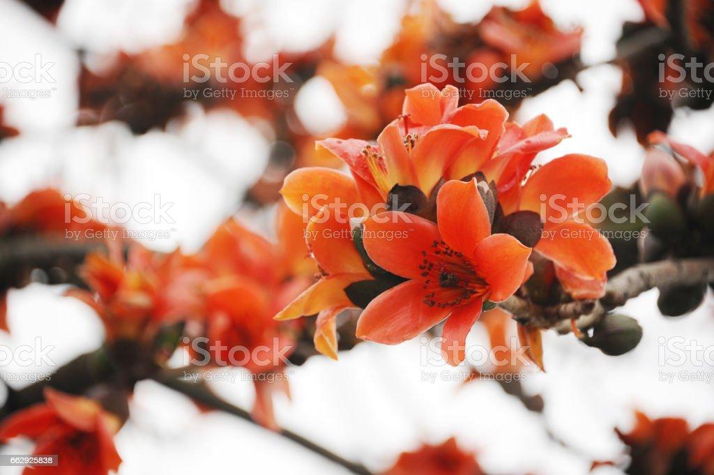 Foto de Bombax Ceiba As Flores Florescendo Nas Árvores Ao Entardecer