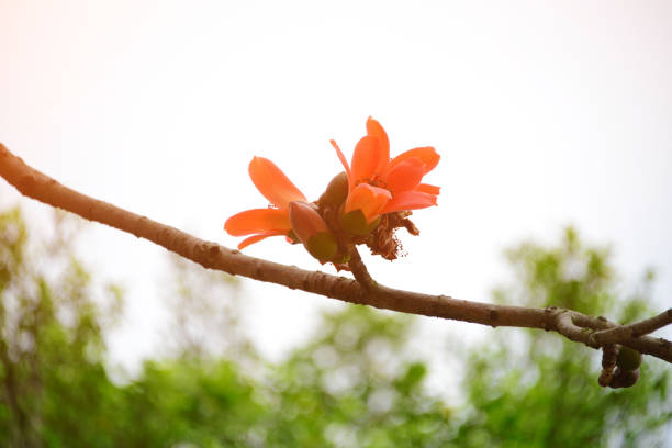 Bombax Ceiba Flowers Blooming In The Trees At